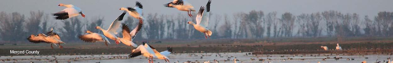 Banner Image of Merced County Geese.